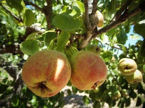 image of apples on a tree